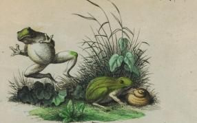 Frogs2 cropped image of two frogs from public domain book published in 1847 by Stuttgart and Esslingen, public domain